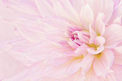 Photograph - Barely There Dahlia by Mary Jo Allen