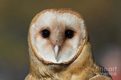 Photograph - Barn Owl 3 by Chris Scroggins
