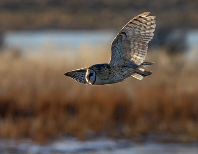 Photograph - Barn Owl 3 by Rick Mosher