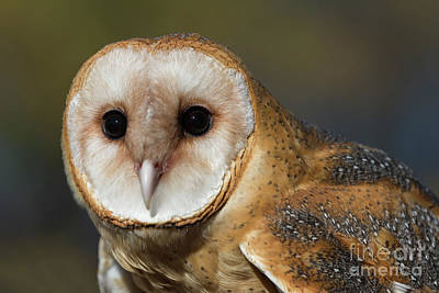 Photograph - Barn Owl 4 by Chris Scroggins
