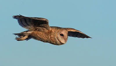 Photograph - Barn Owl 5 by Rick Mosher