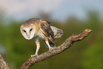 Photograph - Barn Owl 5151801 by Rick Veldman