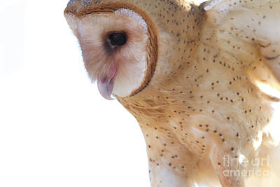 Photograph - Barn Owl 6 by Chris Scroggins