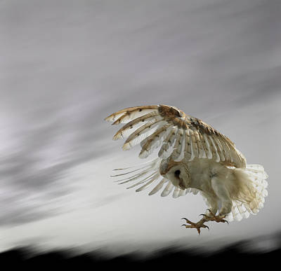 Bird Photograph - Barn Owl Flying Against And Overcast Sky by Digital Zoo