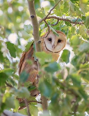Photograph - Barn Owl Hiding by Loree Johnson