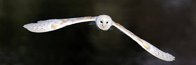 Photograph - Barn Owl In Flight by Grant Glendinning