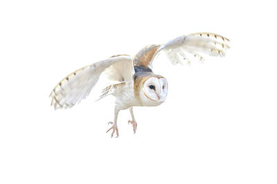 Photograph - Barn Owl In Flight by Tom and Pat Cory
