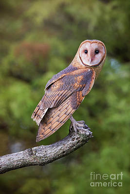 Photograph - Barn Owl On Branch by Sharon McConnell