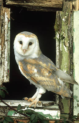 Bird Photograph - Barn Owl Tyto Alba Perched In Old by Mark Hamblin