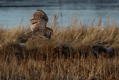 Photograph - Barn Owl With Vole by Rick Mosher