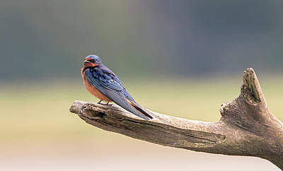 Photograph - Barn Swallow On Driftwood by Loree Johnson