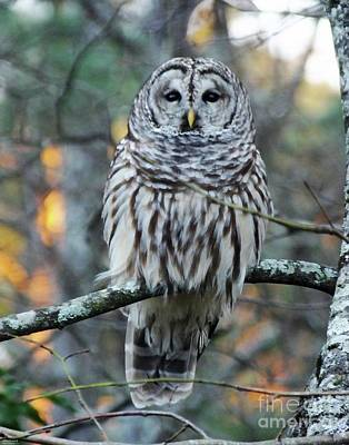 Photograph - Barred Owl 11 by Lizi Beard-Ward