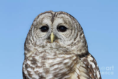 Photograph - Barred Owl 3 by Chris Scroggins