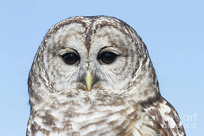 Photograph - Barred Owl 6 by Chris Scroggins
