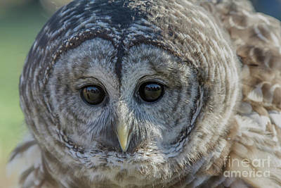 Photograph - Barred Owl 7 by Chris Scroggins