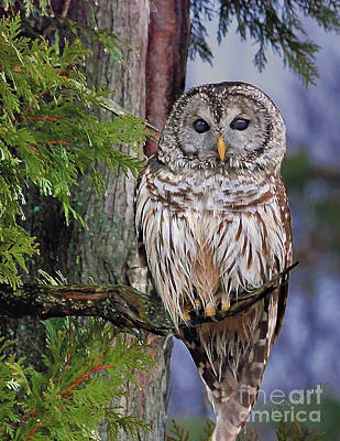 Photograph - Barred Owl by Debbie Stahre