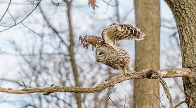 Wall Art - Photograph - Barred Owl In Flight #1 by Morris Finkelstein