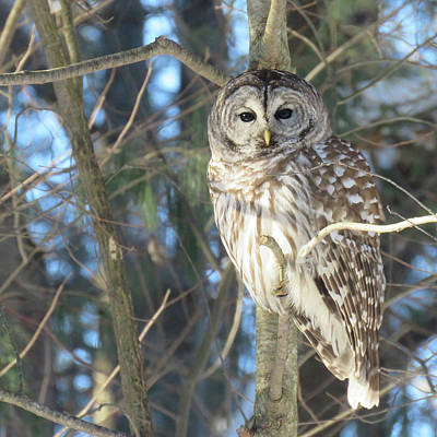 Photograph - Barred Owl by Michelle Vyn