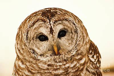 Photograph - Barred Owl by Sheila Skogen