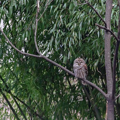 Photograph - Barred Owl Squared by Teresa Mucha