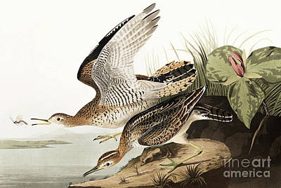 Painting - Bartram Sandpiper, Bartramia Longicauda By Audubon by John James Audubon