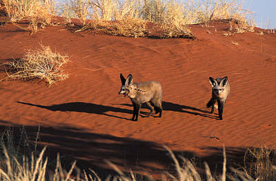 Photograph - Bat-eared Foxes, Namibia by David Hosking