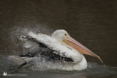 Photograph - Bathing Pelican by David Cutts