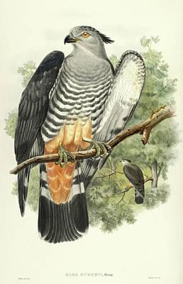 Cuckoo Wall Art - Painting - Baza Gurneyi by John Gould