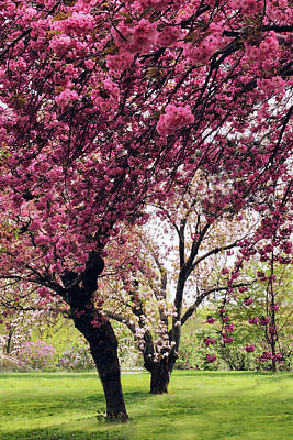 Photograph - Cherry Grove In Bloom by Jessica Jenney