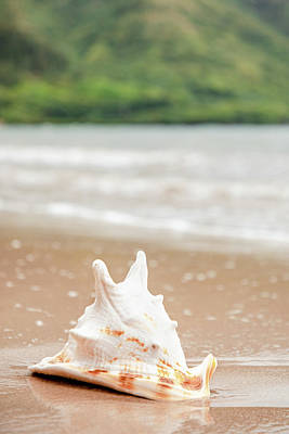 Photograph - Beached Conch Shell by Bodhi Hutton