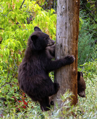 Steven Krull Photos - Bear Cub Climbing by Steven Krull