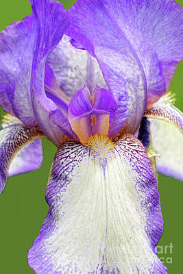 Royalty-Free and Rights-Managed Images - Bearded Iris Acropole by Regina Geoghan