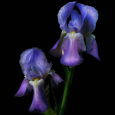 Photograph - Bearded Iris In Square by Debra and Dave Vanderlaan