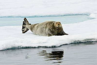 Photograph - Bearded Seal Erignathus Barbatus On Ice by Konrad Wothe/ Minden Pictures