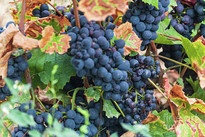 Photograph - Beaujolais Grapes On The Vine IIi by Thomas Marchessault