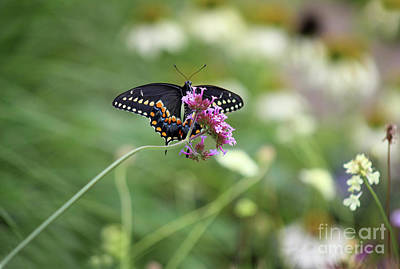 Photograph - Beautiful Black Swallowtail In The Garden by Karen Adams