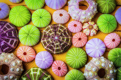 Photograph - Beautiful Colorful Sea Urchins by Garry Gay