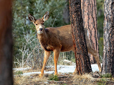 Steven Krull Royalty-Free and Rights-Managed Images - Beautiful Doe Mule Deer by Steven Krull