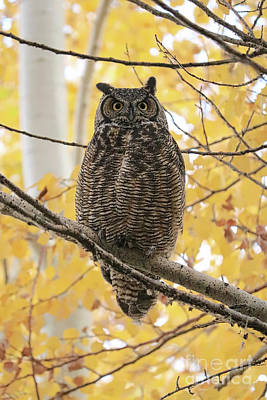 Photograph - Beautiful Great Horned Owl In Autumn Tree by Carol Groenen