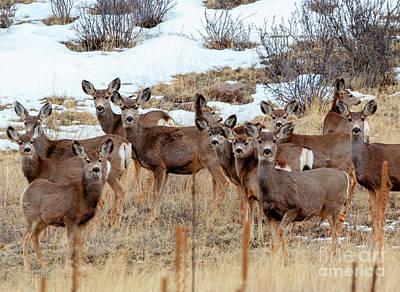 Photograph - Beautiful Herd Of Mule Deer by Steve Krull