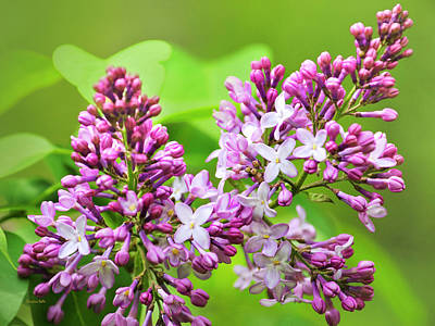 Photograph - Beautiful Lilac Flowers by Christina Rollo
