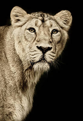 Photograph - Beautiful Lioness by Andyworks