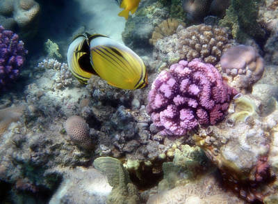 Photograph - Beautiful Red Sea Exquisite Butterflyfish And Corals by Johanna Hurmerinta
