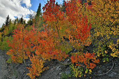 Photograph - Beautiful Roadside Aspens Near Red Mountain Pass by Ray Mathis