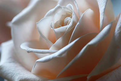 Of Roses And Love Wall Art - Photograph - Beautiful Rose Close-up by Olgaza
