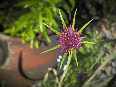 Soap Suds - Beautiful Salsify Bloom by Richard Thomas