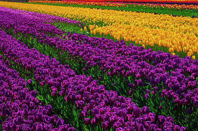 Photograph - Beautiful Tulip Field by Garry Gay