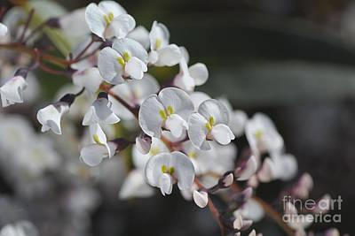 Photograph - Beautiful White Coral Pea Flowers  by Joy Watson