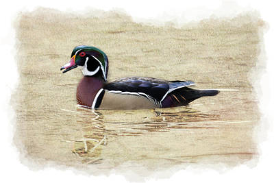 Photograph - Beautiful Wood Duck Painterly    Paintography by Dan Friend