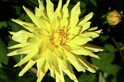 Photograph - Beautiful Yellow Dahlia by Aidan Moran